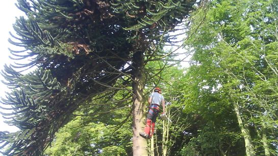 Lower branches being trimmed off a tree